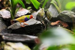 Male Gouldian Finch Bird Royalty Free Stock Image