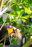 Male Gouldian Finch Bird. The Gouldian Finch, Erythrura gouldiae (or Chloebia gouldiae), also known as the Lady Gouldian Finch, Gould's Finch or the Rainbow Stock Images