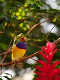 Male Gouldian finch bird stock image
