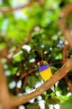 Male Gouldian finch bird. Colorful male Gouldian finch standing on a tree branch in Butterfly World, South Florida.  The Gouldian Finch, Erythrura gouldiae (or Stock Photos