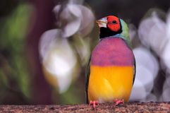 Male Gouldian Finch bird on branch Stock Images