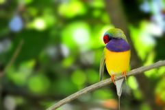 Male Gouldian Finch bird on branch, preening Royalty Free Stock Photos