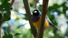 Male gouldian finch stock footage