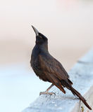 Male grackle Stock Image