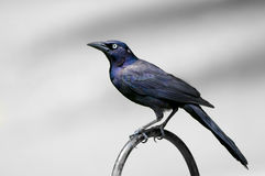 Male Grackle Stock Photos