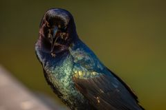 Male grackle. Trying to catch a mosquito with its beak open Royalty Free Stock Photos