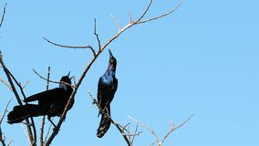 Male grackles Royalty Free Stock Photos