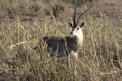 Male Grant gazelles among the high dry grass in the savanna duri Stock Photos