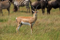 A male Grant`s gazelle looking forward. The Grant`s gazelle is a species of gazelle distributed from northern Tanzania to South Sudan and Ethiopia, and from the Royalty Free Stock Photo
