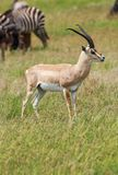 A male Grant`s gazelle standing tall. The Grant`s gazelle is a species of gazelle distributed from northern Tanzania to South Sudan and Ethiopia, and from the Royalty Free Stock Images