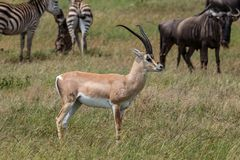 A male Grant`s gazelle standing tall. The Grant`s gazelle is a species of gazelle distributed from northern Tanzania to South Sudan and Ethiopia, and from the Stock Photo
