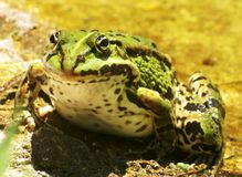 Male grass-frog Stock Photography
