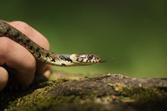 Male Grass Snake Stock Photo