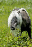 Male Gray wild pony of Grayson Highlands looking through his long mane. Fabio male pony of Grayson Highlands Royalty Free Stock Images