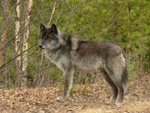 Male Gray Wolf. Standing in forest near Golden, British Columbia, Canada Stock Photo