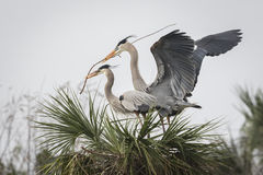 Male Great Blue Heron Bringing His Mate a Stick Royalty Free Stock Images