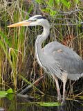 Male Great blue Heron posing for the shot! Stock Photos