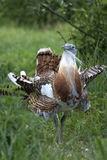 Male Great Bustard (Otis tarda) Royalty Free Stock Photos
