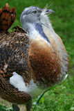 Male Great Bustard (Otis tarda). Male Great Bustard showing his flamboyant plumage before mating. A single male may mate with up to 5 females. It is a national stock photo