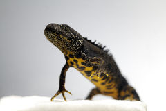 Male great crested newt adult endangered amphibian Stock Images