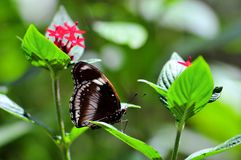 Male Great Eggfly butterfly & flowers Stock Image