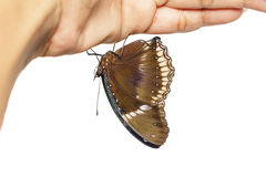 Male of great eggfly butterfly hanging on hand Royalty Free Stock Photo