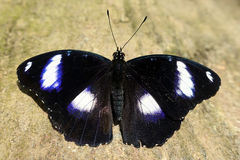 Male Great Eggfly butterfly Hypolimnas bolina,detail Royalty Free Stock Images