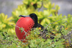 Male great frigatebird is attracting a female during mating season Royalty Free Stock Photography