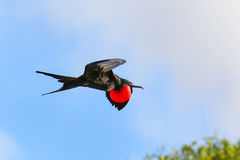 Male Great Frigatebird flying in blue sky, Galapagos National Pa Stock Photography