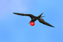 Male Great Frigatebird flying in blue sky, Galapagos National Pa Stock Image