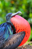 Male Great Frigatebird on Genovesa Island, Galapagos National Pa Royalty Free Stock Photo