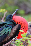 Male Great Frigatebird on Genovesa Island, Galapagos National Pa Royalty Free Stock Image