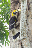 Male Great Hornbill Stock Image