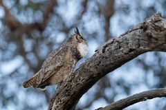 A male great horned owl hooting to its mate as the light begins to wane. As the daylight begins to fade a male great horned owl begins calling out to his mate stock photography
