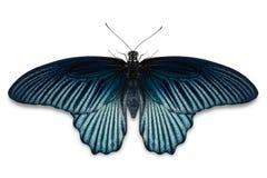 Male Great Mormon Papilio memnon butterfly stock photo