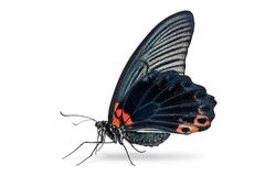 Male Great Mormon Papilio memnon butterfly royalty free stock images