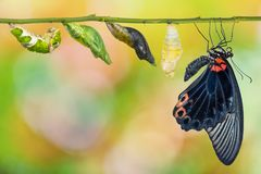 Male Great Mormon Papilio memnon butterfly life cycle royalty free stock photography