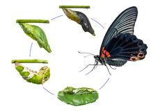Male Great Mormon Papilio memnon butterfly life cycle. From caterpillar to pupa and its adult form, isolated on white background with clipping path stock image
