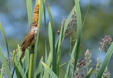 Male Great reed warbler sings his song with widely open beak royalty free stock image
