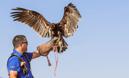 Male great spotted eagle during a falconry flight show in Dubai, UAE. Stock Photography