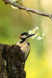 Male of Great Spotted Woodpecker (Dendrocopos major) Stock Image
