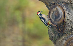 Male great spotted woodpecker Dendrocopos major Royalty Free Stock Images