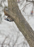 Male great spotted woodpecker Dendrocopos major Stock Images