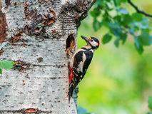 Male great spotted woodpecker at the entrance of its nest with food Stock Image