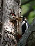 Great Spotted Woodpecker Chick Being Fed By Parent. A male Great Spotted Woodpecker feeding its chick with a beak full of insects including a dragonfly. Taken at royalty free stock photo