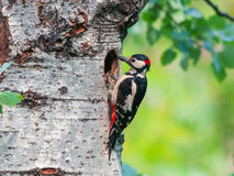 Male great spotted woodpecker in front of its nest carrying food Stock Images