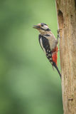 Male great spotted woodpecker Stock Photography