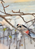 Male great spotted woodpecker Royalty Free Stock Photos
