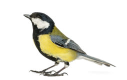 Male great tit looking up, Parus major Royalty Free Stock Photos