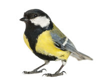 Male great tit, Parus major. Isolated on white stock images